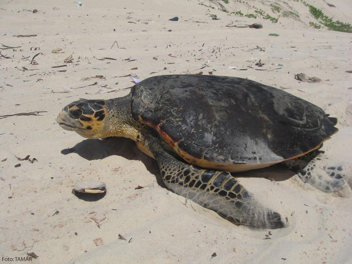 As tartarugas verdadeiras de Pipa (Eretmochelys Imbricata)