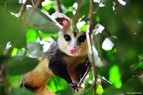 Timbú - Brazilian marsupial