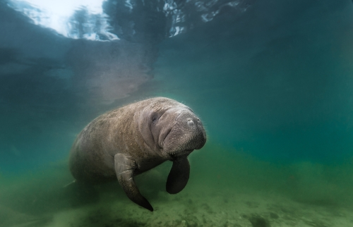 Manatee - Legends and protection
